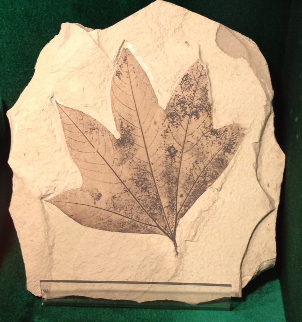 With luck, you may find a fossil like this leaf of an ancient sycamore tree.