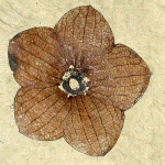 Stonerose's famous Florissantia Quilchenensis fossil (flower from an extinct cocoa tree).