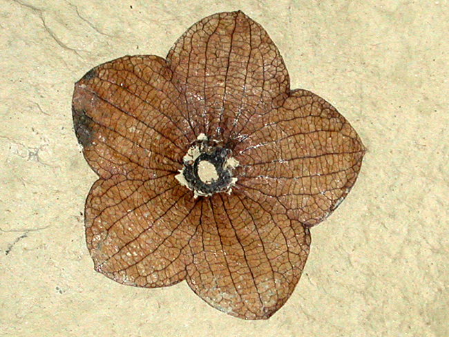 Florissantia quilchenensis is an extinct flower species found in western North America. This flower is part of the Malvaceae Family, which also includes the Cocoa (chocolate) and Mallow (marshmallow) plants.