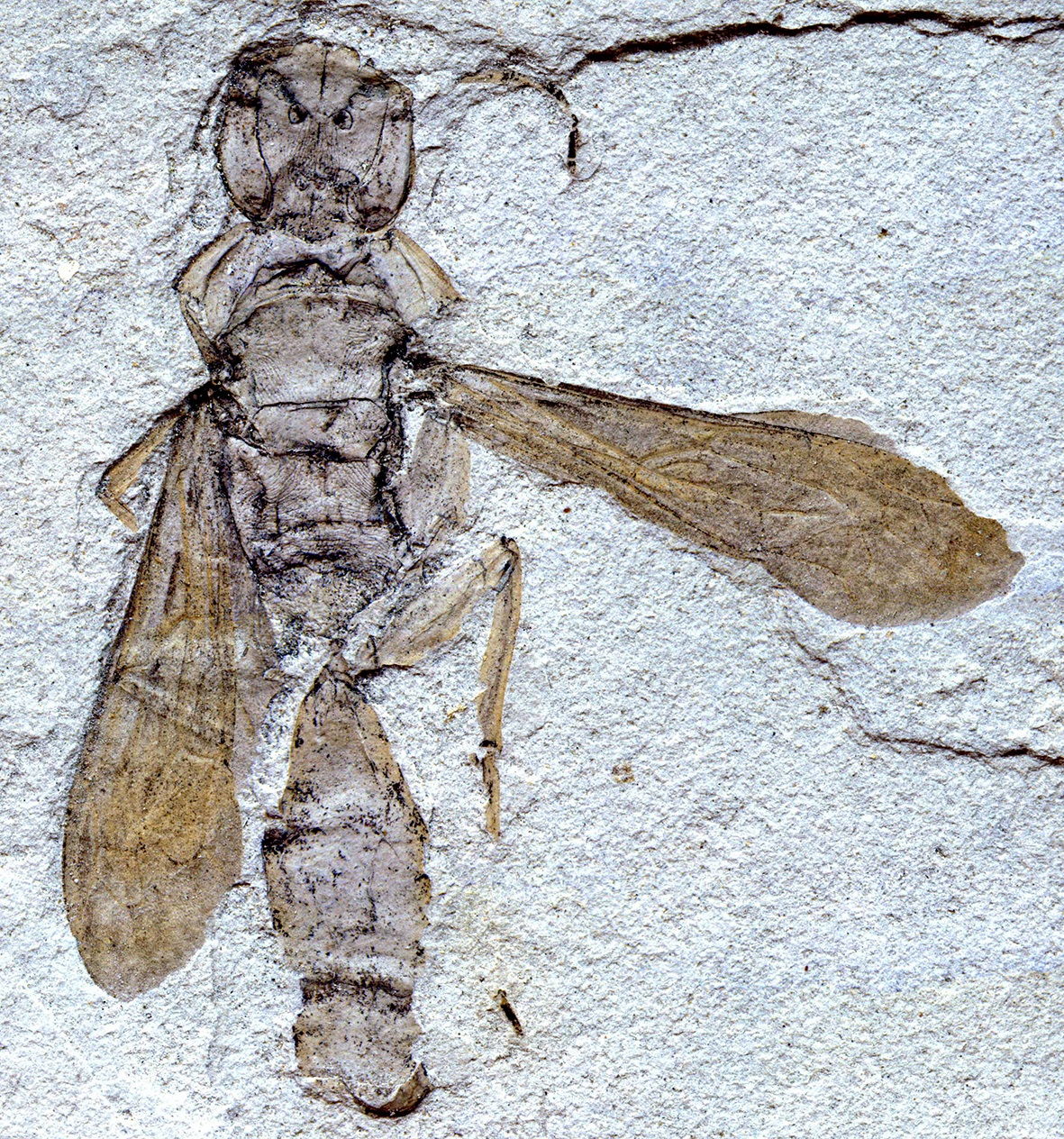 Fossil Wasp