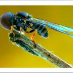 Big Headed Fly